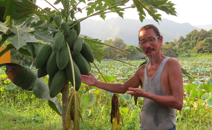 泰國原生品種(無基因改造)紅肉木瓜