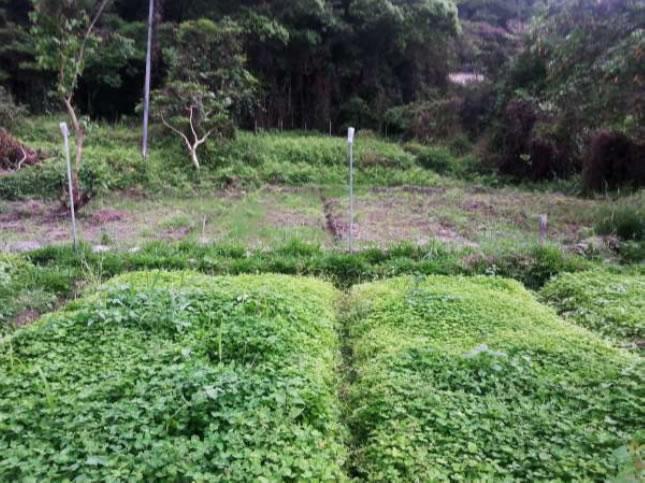 細心看結青的田,在一片三葉草覆蓋之間,米苗正努力冒出頭來。