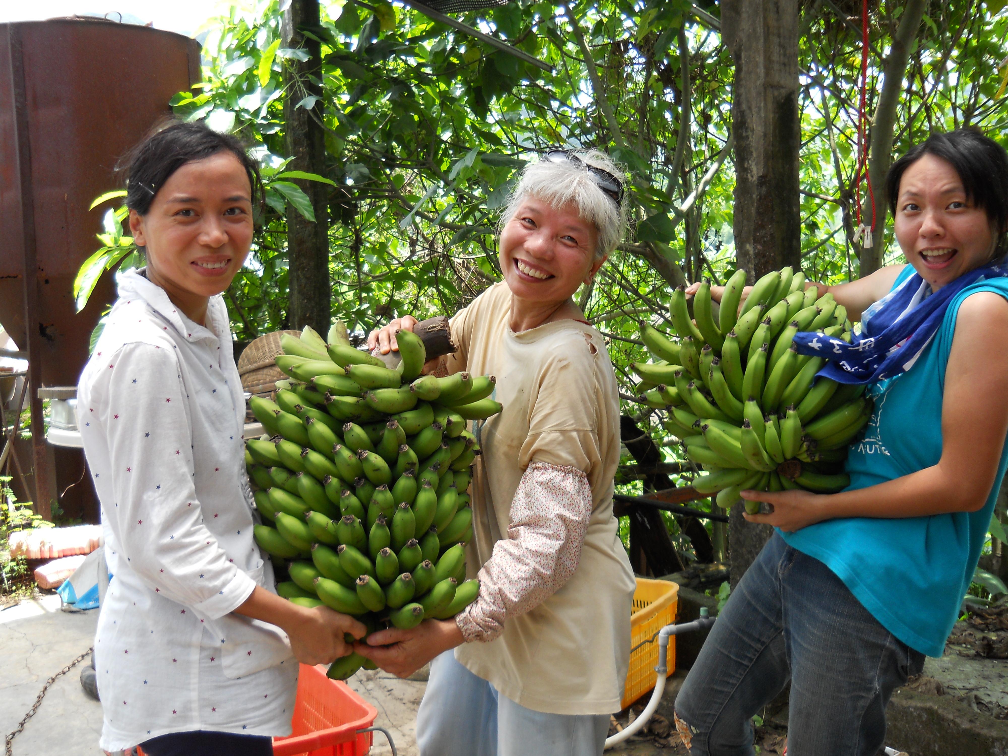 南涌的香蕉又香又甜,不知道大家嘗過沒有?